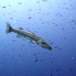 Belizean Barracuda & lots of fish